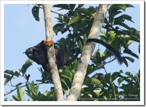 10 09 macaco midas (2)